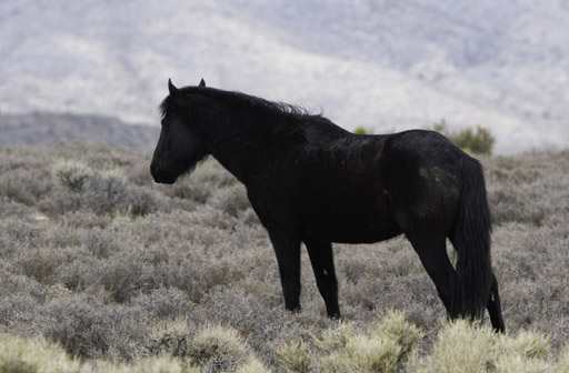 _MG_2504-Picture-of-Black-Wild-Horse-Border-400-600