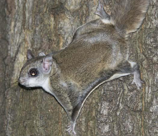flying squirrel_02