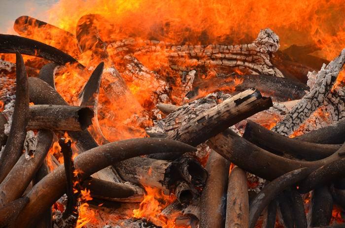ivory-burn2-small