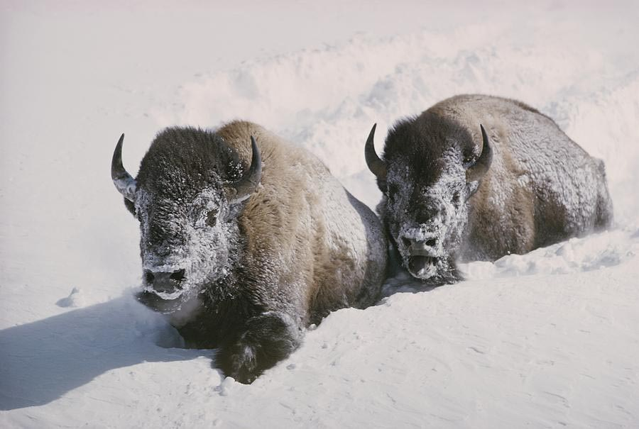 two-bison-move-through-chest-deep-snow-william-albert-allard