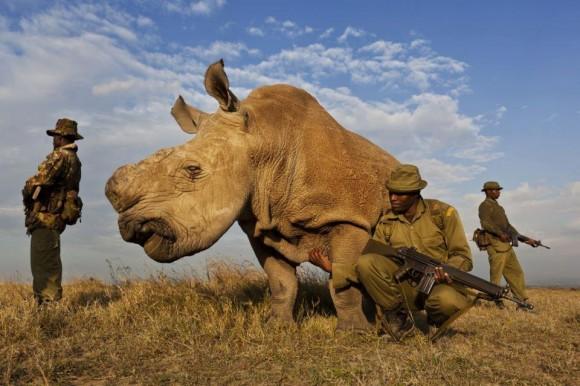 white-rhino-580x386