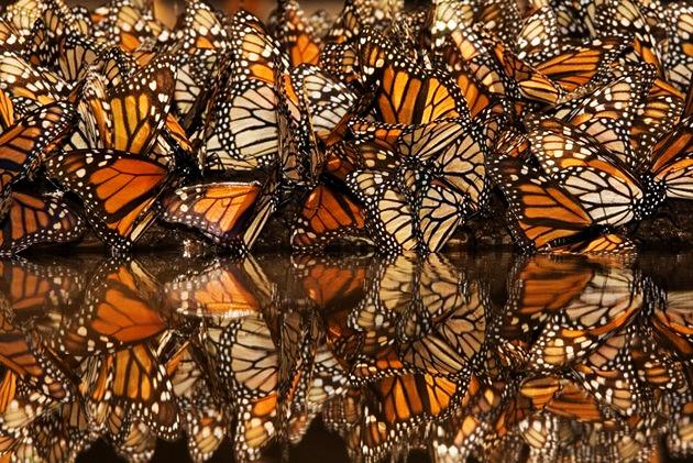 Milhares_de_borboletas_monarca_Danaus_plexippus_re_nem_se_para_beber_gua_nas_partes_mais_calmas_da_selva_montanhosa._Fotografia_tirada_em_Michoacan_M_xico.
