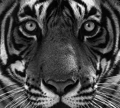 tiger_sh