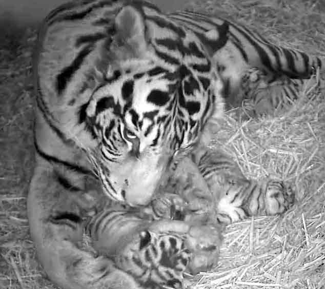 tiger_sh_triplets