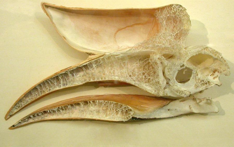 hornbill_skull