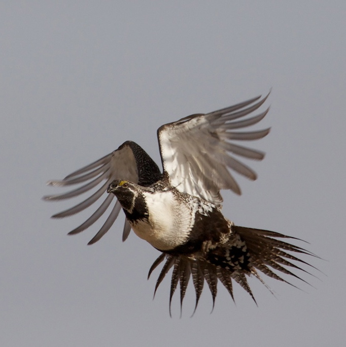 flying_grouse_1