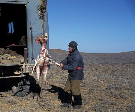 Photo from ARKive of the Saiga antelope (Saiga tatarica) - http://www.arkive.org/saiga-antelope/saiga-tatarica/image-G34938.html