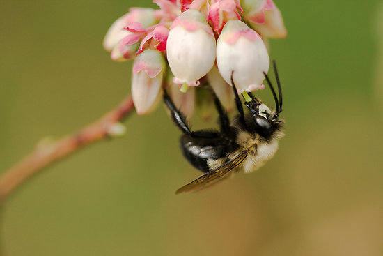 bee-pollinating-blueberry