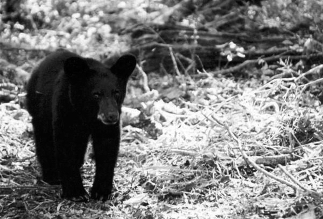 black_bear_usfws@large