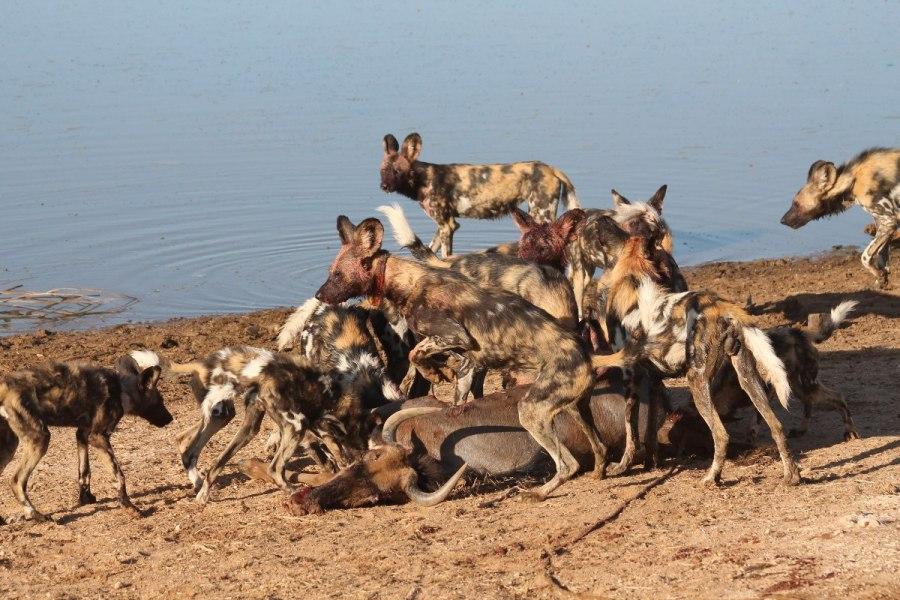 erindi-wild-dog-pack-at-kill-1