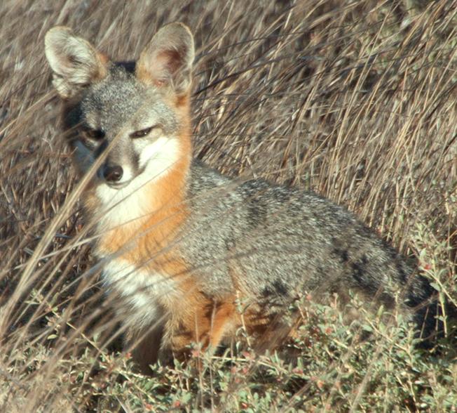 island_fox