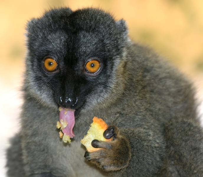 IMG_3926 brown lemur eating