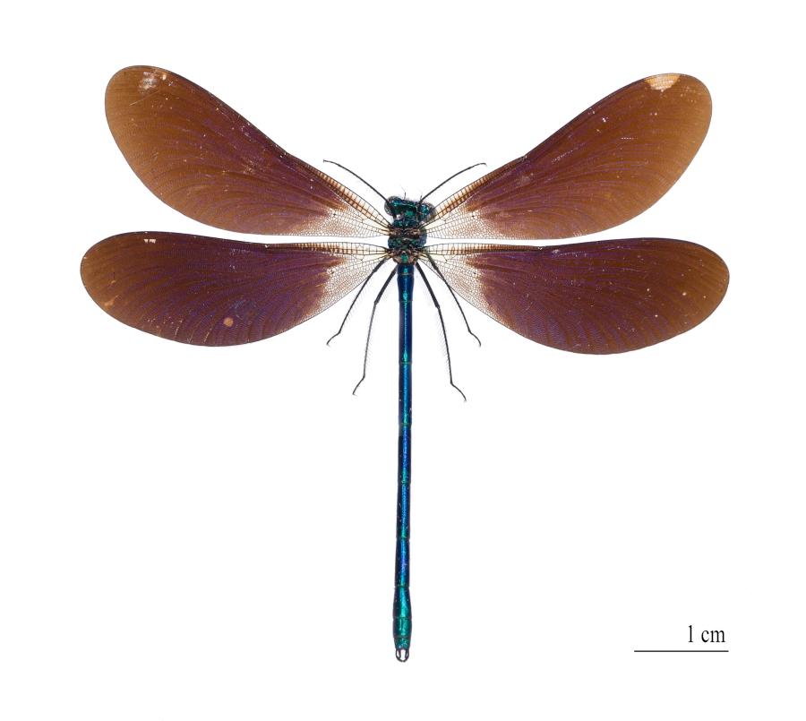 Calopteryx virgo meridionalis