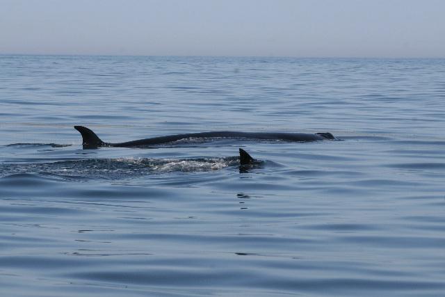 sei_whale