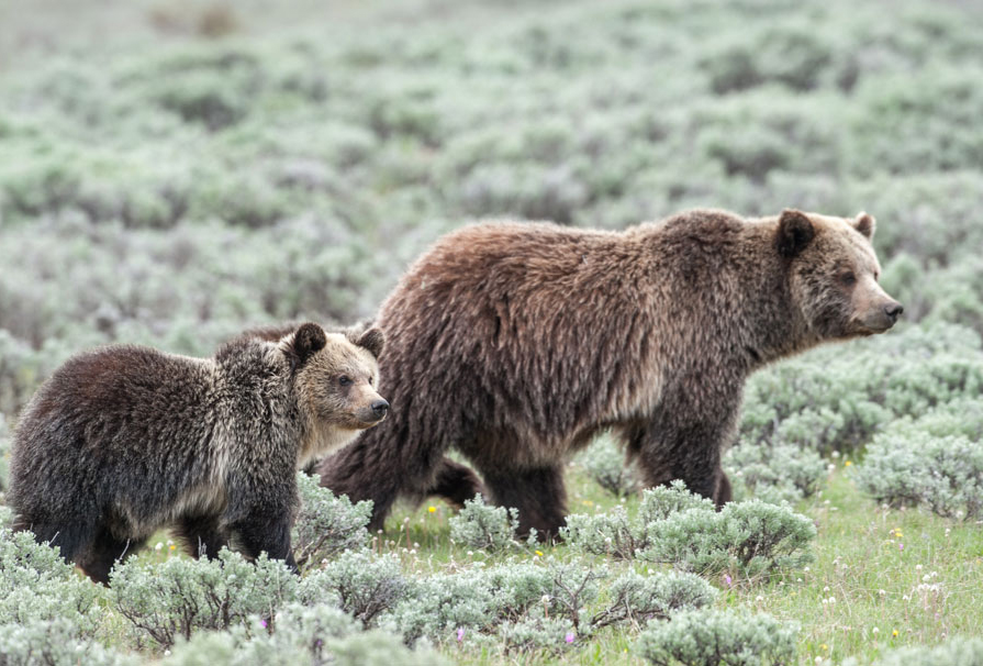 Grizzly Sow Cub in Sage