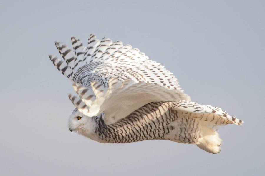 20180212-snowy-owls-toronto.jpg-resize_then_crop-_frame_bg_color_FFF-h_1365-gravity_center-q_70-preserve_ratio_true-w_2048_