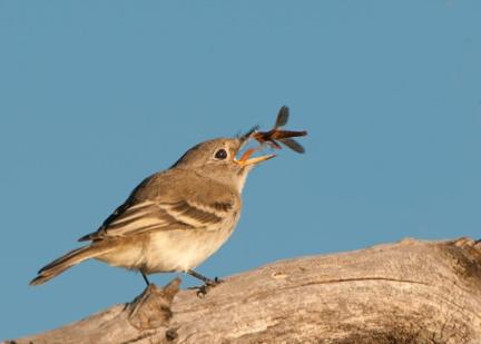 Southwestern-Willow-Flycatcher