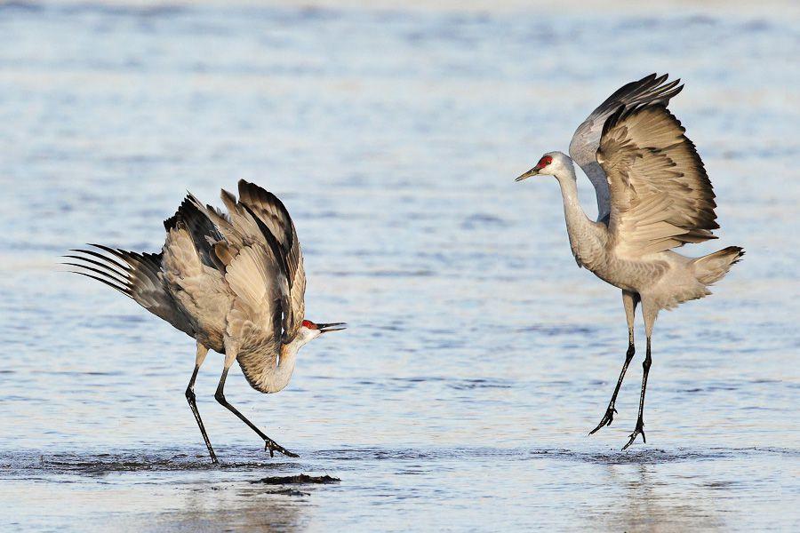 05-sandhill-cranes-flight