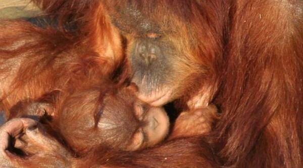 orangotango-1