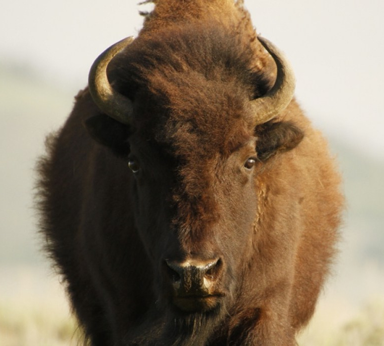bison_kate-garibaldi_4_image6 (1)