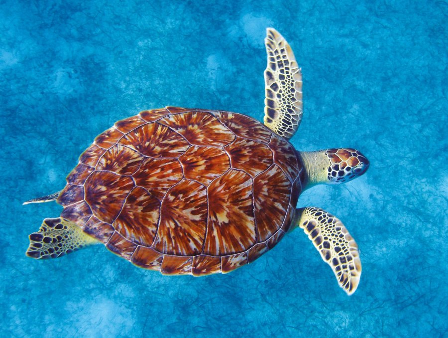 green_turtle_image