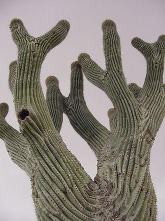 Saguaro_Unusual