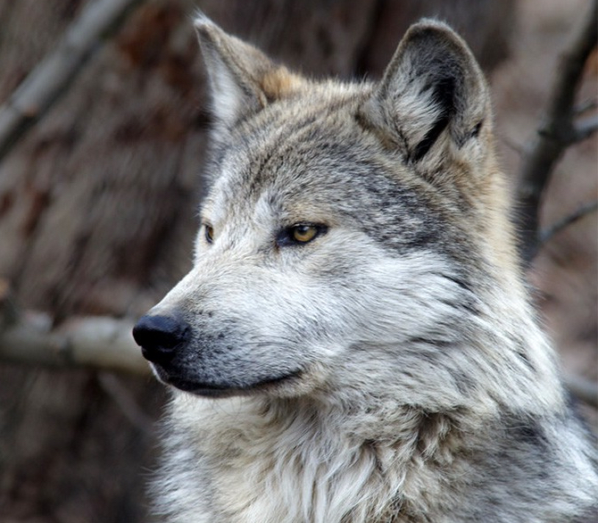 mexican-gray-wolf_don-burkett-800