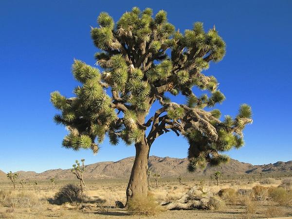 elmer-joshua-tree
