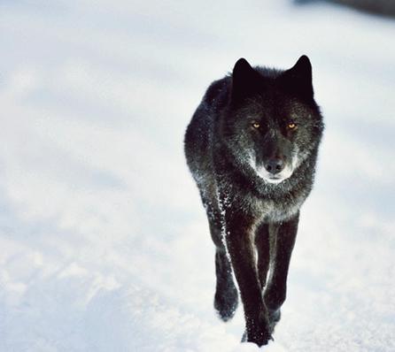 956575_1_wolf_standard